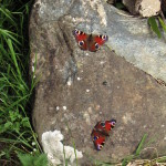 butterfly and rock
