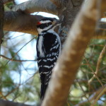 WOOD PECKER 1