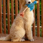 dog with playtoy