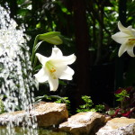 lillies and water fall